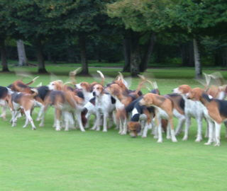 chiens chasse cheverny